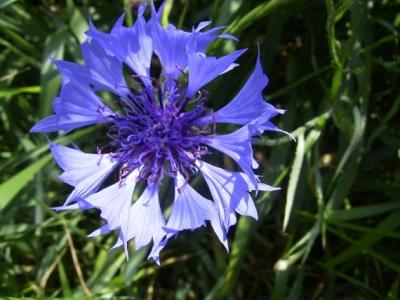 Albastrele - Centaurea cyanus