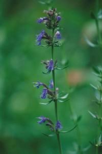 Isopul - Hyssopus officinalis
